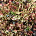 فروش ویژه پسته کوهی خام در ایران